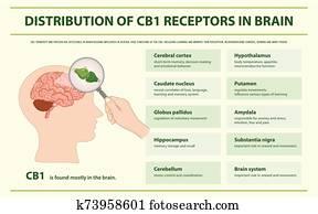 verteilung, von, cb1, rezeptoren, in, gehirn, horizontaler, infographic