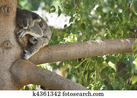 Koala Bear Sleeping in a tree.