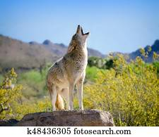 Coyote Howling in American Southwest