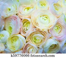 floral background of peach roses