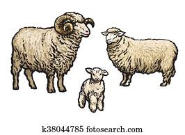White sheep isolated