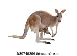 kangaroo with joey