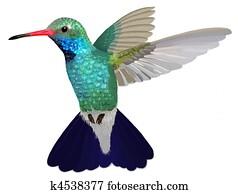 Broad-billed Hummingbird hovering