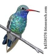 Broad-billed Hummingbird - male