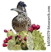 Greater Roadrunner in Opuntia