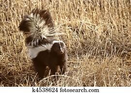 Striped Skunk in stubble field