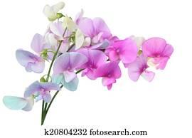Wild Sweet Pea Flowers