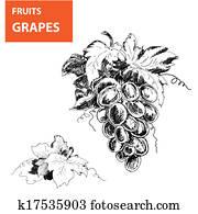 Hand drawn illustrations of grapes