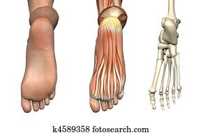 Anatomical Overlays - Foot