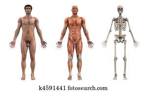 Anatomical Overlays - Adult Male