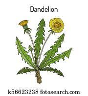 Common dandelion Taraxacum officinale , medicinal plant