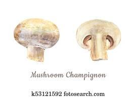 Botanical watercolor illustration of whole and cut mushroom champignon on white background