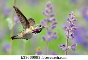 Annas Hummingbird in flight with purple lavender flowers