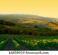 Vineyard with ripe purple grapes at sunrise in Tuscany, Italy