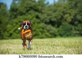 Playing boxer dog