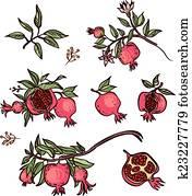 Clipart grenade fruit k6011838 recherchez des cliparts des illustrations des dessins et - Grenade fruit dessin ...