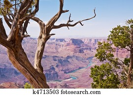 Grand Canyon and Juniper Trees