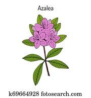 Azalea Rhododendron obtusum , ornamental and medicinal plant