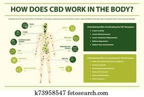 How Does CBD Work in the Body horizontal infographic