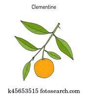 Clementine (Citrus clementina), citrus fruit