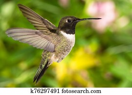 Black-Chinned Hummingbird Searching for Nectar in the Green Garden