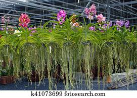 Tropical orchid plants in greenhouse, sale of indoor flowers with purple orchid