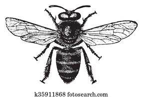 Honey bee, vintage engraving.