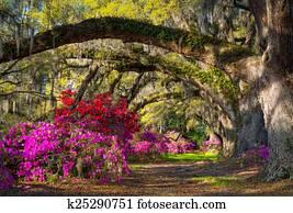 Charleston SC Spring Bloom Azalea Flowers South Carolina Plantat