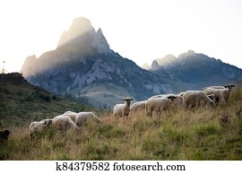 High in the mountains shepherds graze cattle among the panorama of wild forests and fields of the Carpathians.