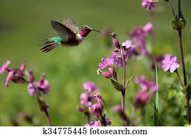 Ruby-throated Hummingbird and pink summer flowers