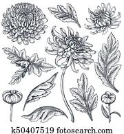 Set of hand drawn chrysanthemum flowers