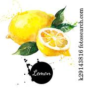 Hand drawn watercolor painting lemon on white background
