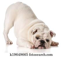 Pictures of bulldog backsides k4016738 - Search Stock ...