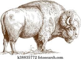 engraving bison