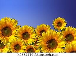 Sunflower field - flower background