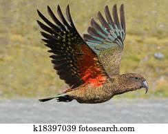 Kea - New Zealand wildlife NZ NZL
