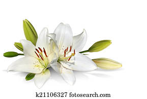 Easter Lily flowers on white