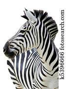 Zebra isolated