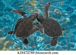 Baby sea turtles in water