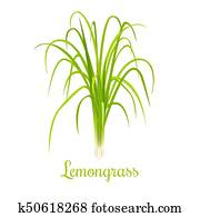 lemongrass or Cymbopogon or Citronella grass. culinary herb