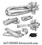 sellerie, hand, gezeichnet, vektor, abbildung, set., freigestellt, gemüse, graviert, stil, object., ausführlich, vegetarisches essen