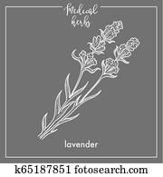 lavendel, heilpflanze, skizze, botanische, design, symbol, für, medizinisches kraut, oder, phytotherapy, kr?utertee, infusion.