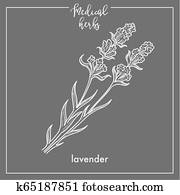 Lavender medical herb sketch botanical design icon for medicinal herb or phytotherapy herbal tea infusion.