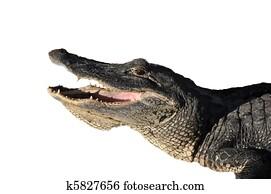 Attacking alligator