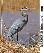 Great Blue Heron in Bosque NM 2