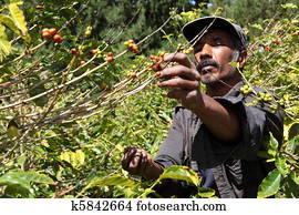 Coffee farmer picking ripe beans