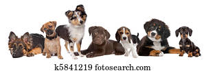 large group of puppies on a white background. from left to right, German Shepherd, mixed breed pug, shetland sheepdog, chocolate Labrador, Beagle, Bernese Mountain dog and a miniature Dachshund