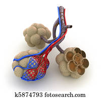 Alveoli in lungs - blood, oxygen