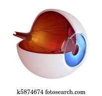 Eye anatomy - inner structure