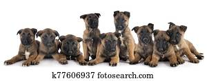 puppies malinois in studio